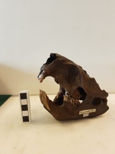 Burwell beaver skull © The Sedgwick Museum of Earth Sciences