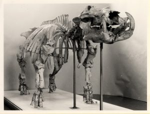 Barrington Hippo Barrington Hippo © The Sedgwick Museum of Earth Sciences